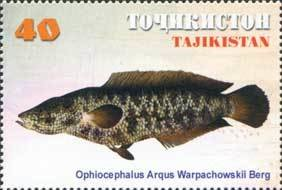 Colnect-1100-372-Northern-Snakehead-Channa-argus-warpachowskyi.jpg