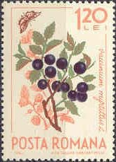 Colnect-461-248-Bilberry-Vaccinium-myrtillus--amp--butterfly.jpg
