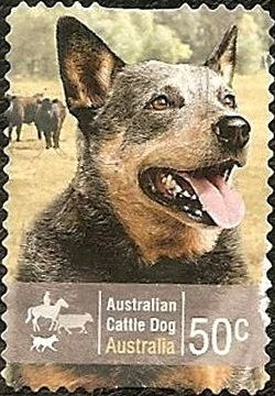 Colnect-1080-645-Australian-Cattle-Dog-Canis-lupus-familiaris.jpg
