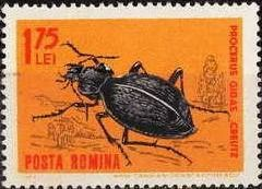 Colnect-458-503-Ground-Beetle-Carabus-gigas.jpg