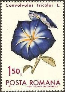 Colnect-574-645-Dwarf-Morning-Glory-Convolvulus-tricolor.jpg