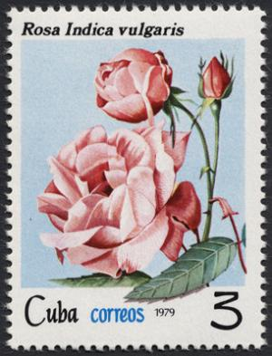Colnect-852-892-Rosa-indica.jpg