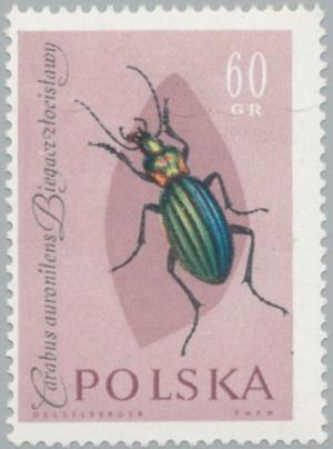 Colnect-2665-827-Golden-Ground-Beetle-Carabus-auronitens.jpg