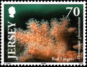 Colnect-4399-470-Red-Sea-Fingers-Alcyonium-glomeratum-.jpg